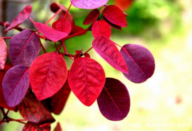 树木叶片为何秋日变红?最著名的观叶树木是黄栌