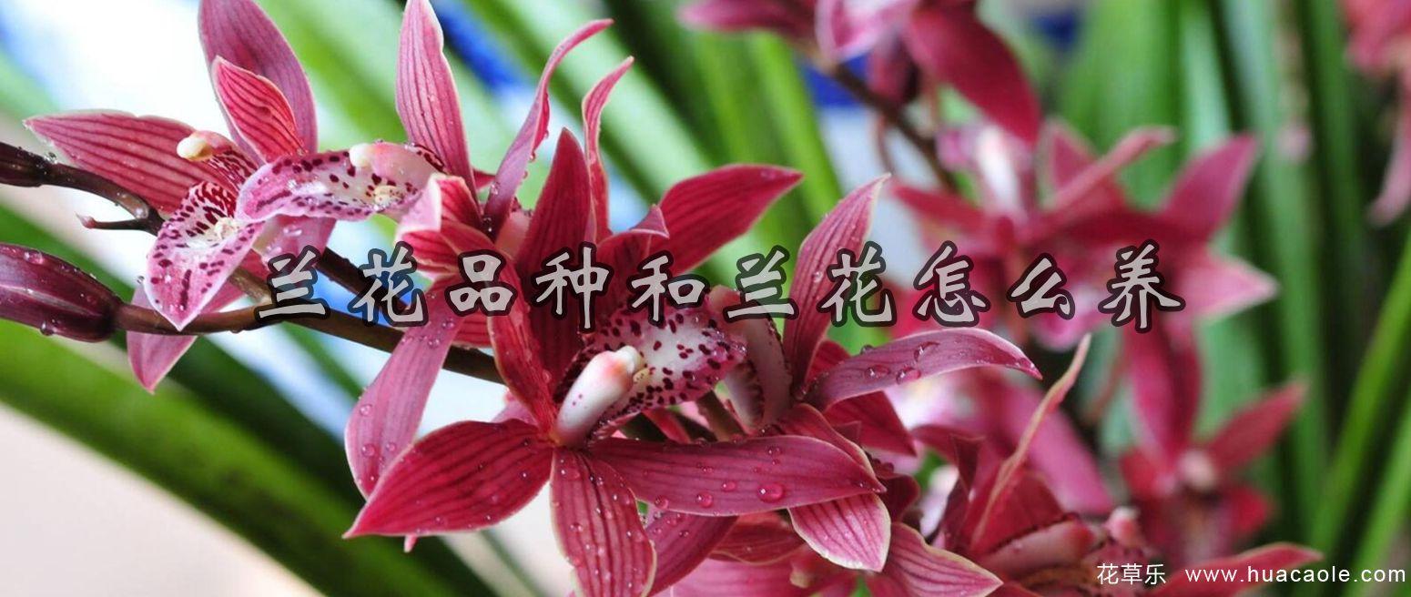 兰花品种,良品识别及兰花怎么养