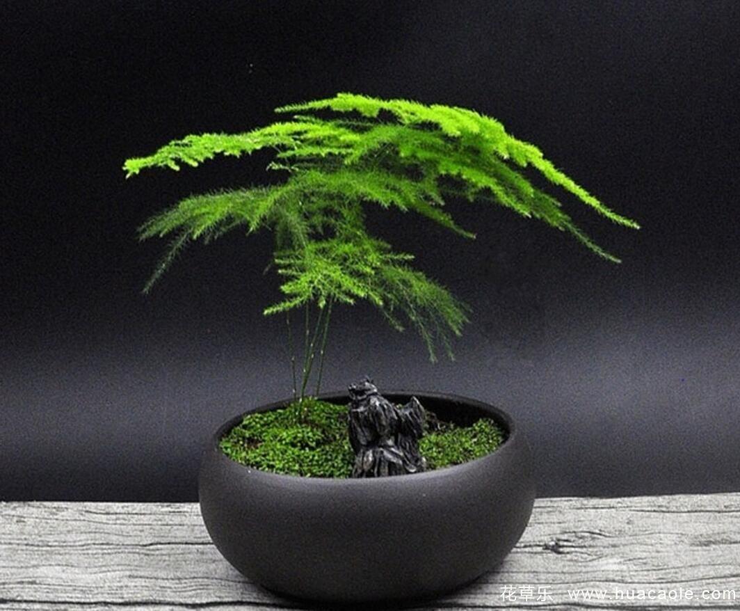 文竹名字由来,文竹花语及文竹盆景的家庭养殖