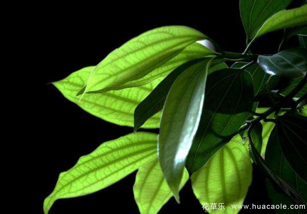 平安树怎么养?平安树的养殖方法介绍