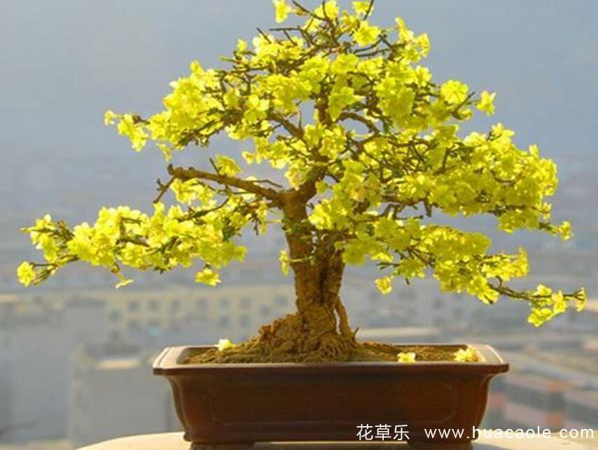 迎春花什么时候开花,什么颜色,迎春花盆景养护