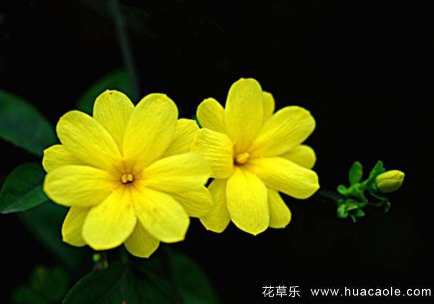 迎春花的特点 迎春花图片欣赏