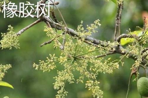 橡皮树和188bet的区佩  橡皮树拥有毒吗?
