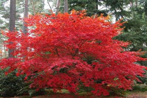 """槭树如何制作盆景,让你的槭树盆栽成为红叶树中的""""一枝独秀"""""""