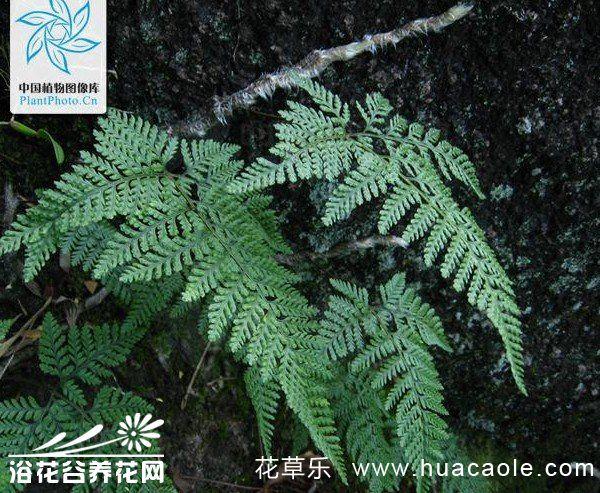 圆盖阴石蕨的栽培养护方法
