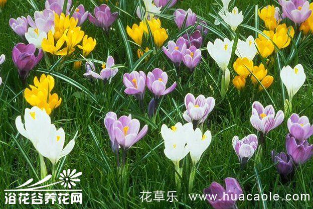 番红花的养殖方法