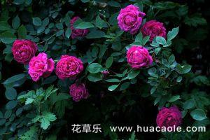 蔷薇花的花语大全