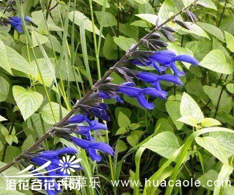 蓝花鼠尾草栽培技术指南