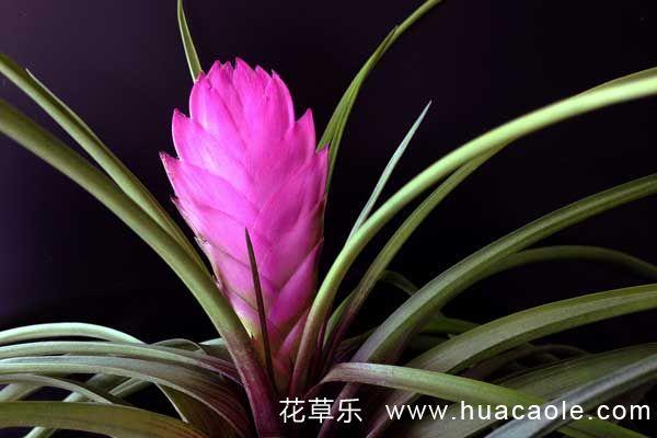 家庭盆栽铁兰的养护注意事项