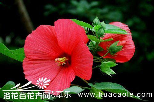 芙蓉葵的种植方法