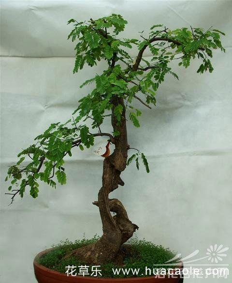 合欢树盆景制作方法及管理(图)