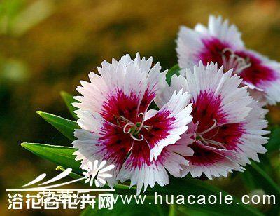 石竹花的养殖方法