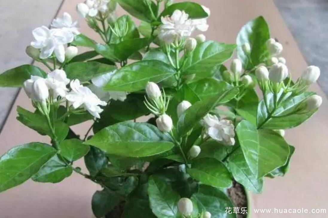 茉莉花的常见白绢病等病害及防治