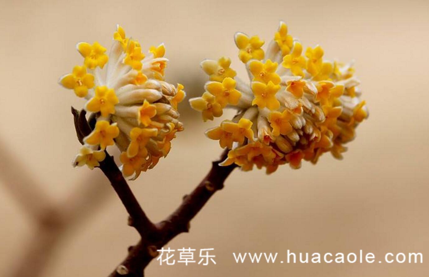 结香花(爱情树)的花语和传说