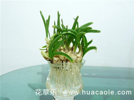 水仙花怎么养,水仙花的养殖方法