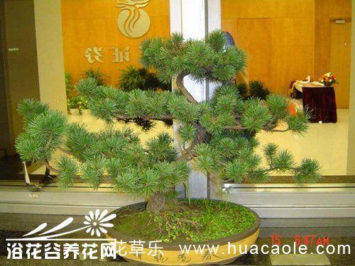 蓬莱松盆景的制作栽培
