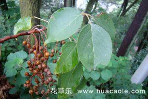 重阳木病害及其防治