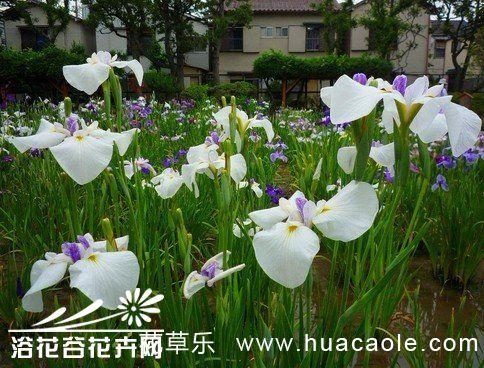 花菖蒲栽培养护技术