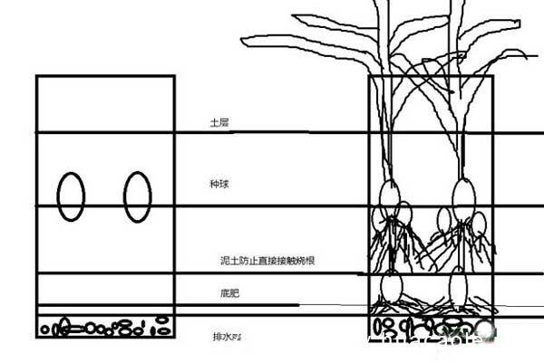 郁金香的种植步骤与栽培要点