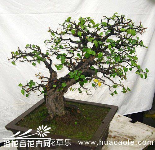榆树盆景养护管理技术