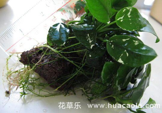 水培小水翁