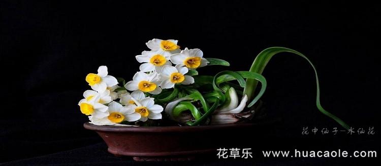 冰清玉洁-水仙花