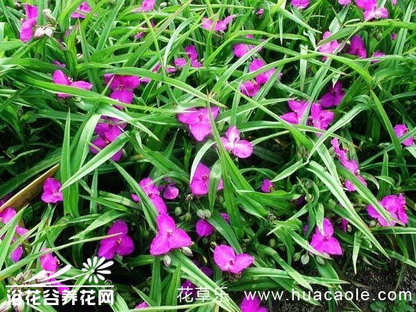紫露草的日常管理