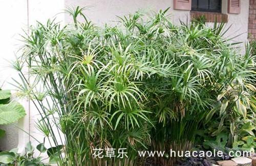 在家养殖水竹有什么作用