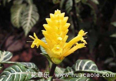 金脉单药花怎样栽培繁殖