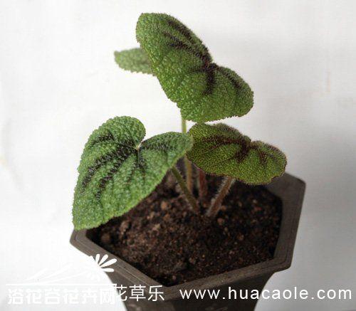 铁十字秋海棠的养殖方法
