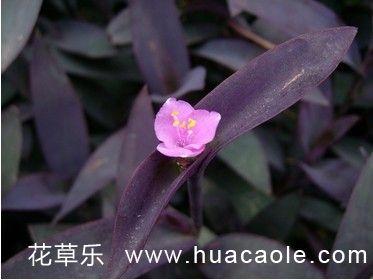 """紫鸭跖草养护需""""三多"""""""