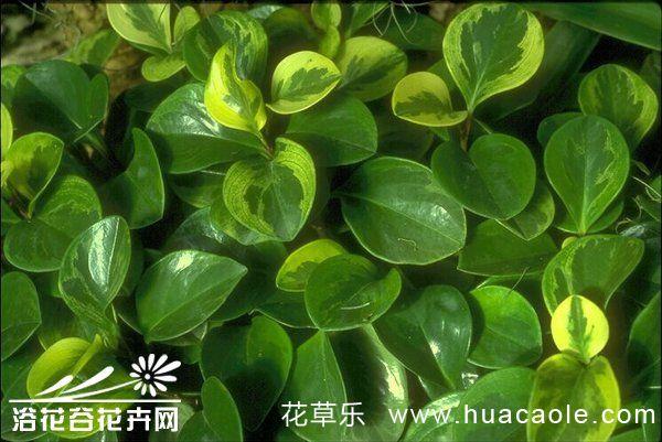 圆叶椒草的养殖方法