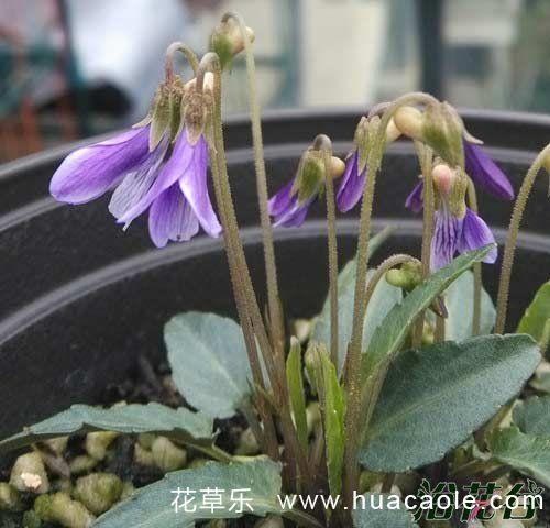 紫花地丁怎么种(移栽和播种)