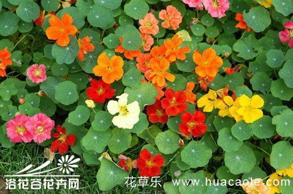 怎样让旱金莲常年开花