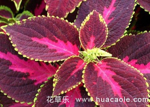 彩叶草常规栽培方法