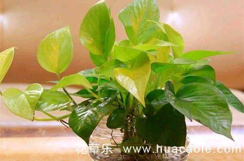 <a href=http://www.huacaole.com/yanghuazhishi/jiatingyanghua/54262.html target=_blank class=infotextkey>绿萝</a>叶子发黄是什么原因 <a href=http://www.huacaole.com/yanghuazhishi/jiatingyanghua/54262.html target=_blank class=infotextkey>绿萝</a>叶子发黄怎么办(图)