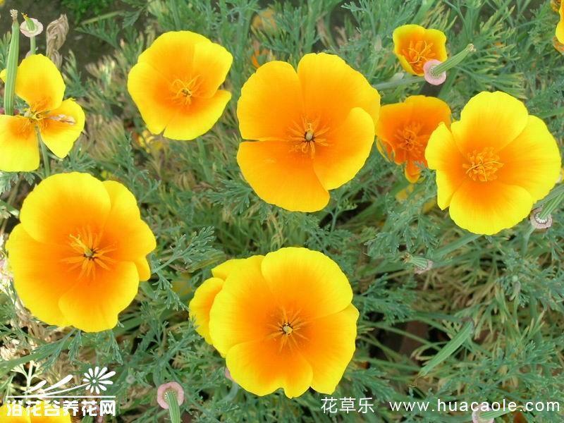 花菱草的栽培管理