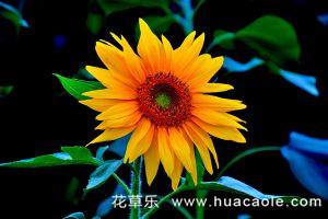 怎样种植观赏性向日葵