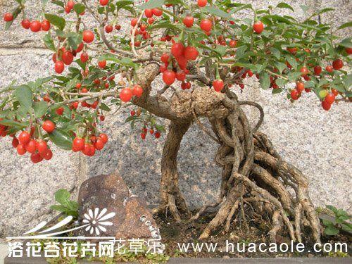 枸杞盆景悬根的制作培育