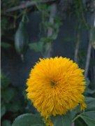 观赏向日葵的花语