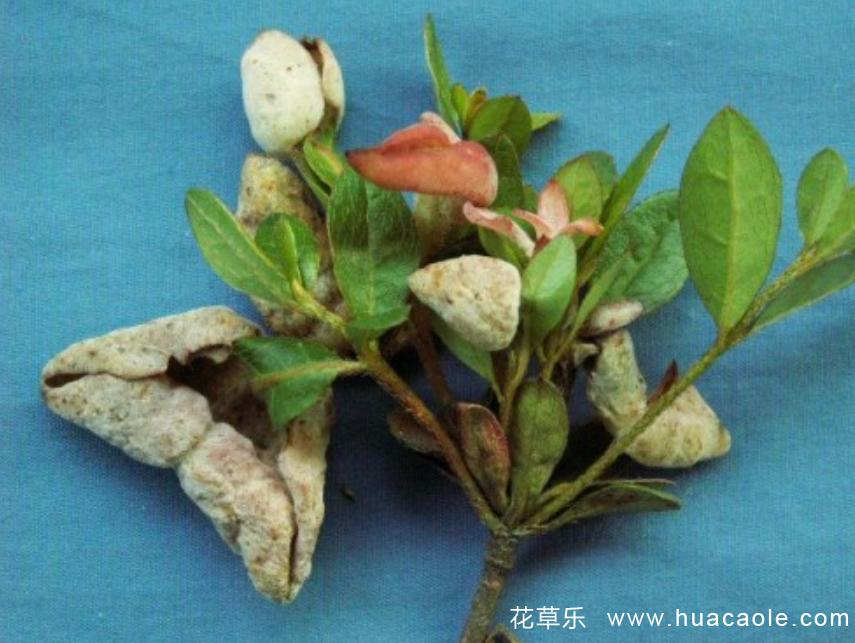 杜鹃花瘿瘤病症状是怎样,怎样防治