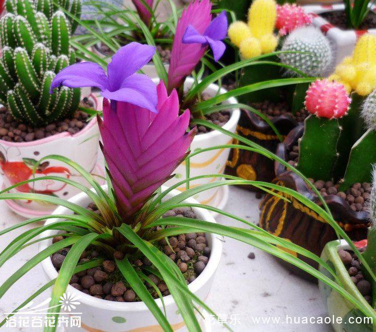紫凤梨(铁兰)的养殖方法