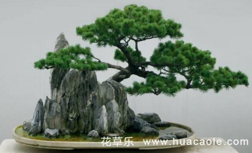 哪些树种可以制作盆景?