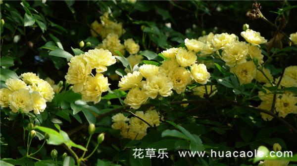 黄色木香花——宜小院,宜暮雨