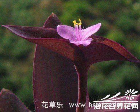 紫鸭跖草(紫竹梅)的养护方法