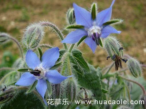 琉璃苣的栽培养殖方法