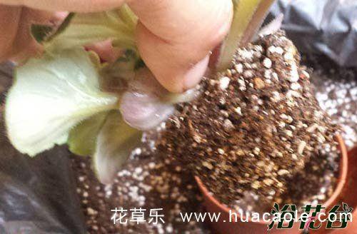 非洲堇用什么土养好