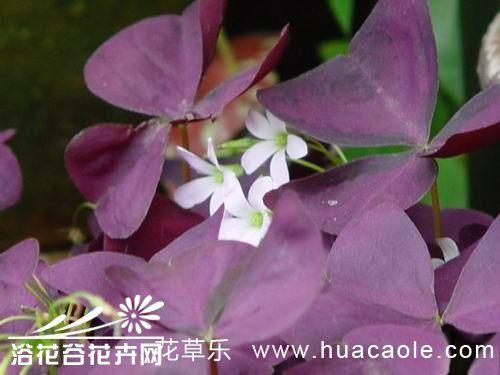 紫叶酢浆草怎么养?