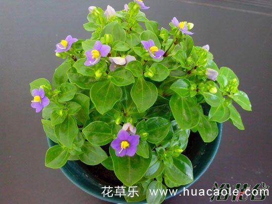 紫芳草的种植