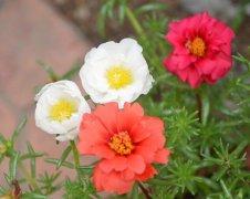 太阳花的花语是什么?